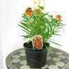 Erysimum Apricot Twist Perennial Wallflower 3ltr pot
