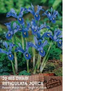 Iris Dwarf Reticulata Bulbs Joyce 15  Per Pack