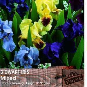 Iris Dwarf Iris Bulbs Mixed 15 Per Pack