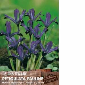 Iris Dwarf Reticulata Bulbs Pauline 15 Per Pack