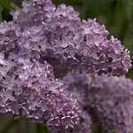 Syringa Vulgaris Firmament (Lilac)