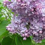 Syringa Vulgaris Katherine Havemeyer (Lilac) 3.5Ltr