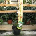 Chaenomeles Speciosa Nivalis (Flowering Quince)
