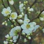 Chaenomeles Speciosa Nivalis (Flowering Quince) 3.5ltr