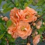 Chaenomeles Superba Cameo (Flowering Quince) 3.5Ltr