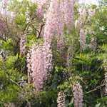 Wisteria Floribunda Rosea 5ltr