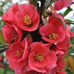Chaenomeles Superba Pink Lady (Flowering Quince) 10Ltr