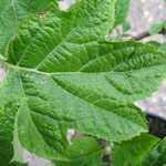 Hydrangea Quercifolia (Oak Leaved Hydrangea)