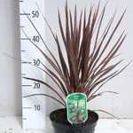 Cordyline Red Star 10 Litre Pot