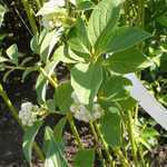 Cornus Sericea Flaviramea (Dogwood) 10Ltr