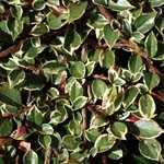 Cotoneaster horizontalis Variegatus
