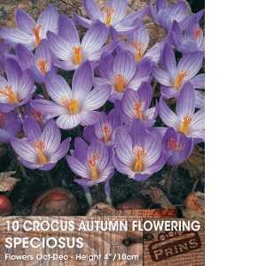 Crocus Bulbs Autumn Flowering Speciosus 10 Per Pack