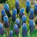Muscari Latifolium Bulbs Grape Hyacinths 10 Per Pack
