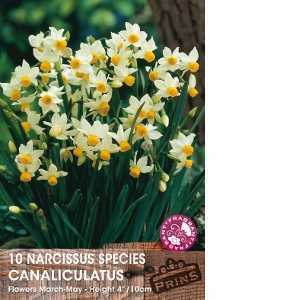 Narcissus Species Bulbs Canaliculatus 10 Per Pack