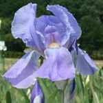 Iris Dalmatica Florentina (Sky Blue) Bulb 1 Per Pack