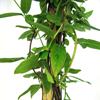 Lonicera Honeysuckle Acuminata 3 Ltr