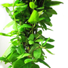Lonicera Honeysuckle Japonica Hall's Prolific 3 Ltr