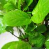 Lonicera Honeysuckle japonica Halliana 3 Ltr