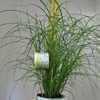 Miscanthus Sinensis Little Zebra Ornamental Grass
