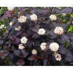 Physocarpus Opulifolius Diabolo (Ninebark) 10 Litre Pot
