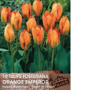 Tulip Bulbs Fosteriana Orange Emperor 10 Per Pack