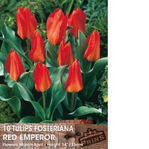 Tulip Bulbs Fosteriana Red Emperor 10 Per Pack