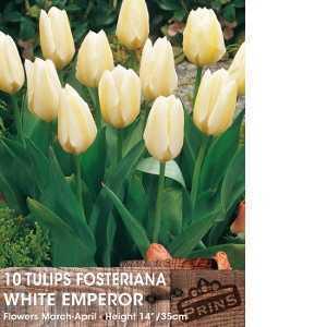 Tulip Bulbs Fosteriana White Emperor 10 Per Pack