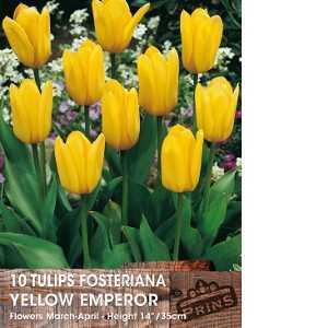 Tulip Bulbs Fosteriana Yellow Emperor 10 Per Pack