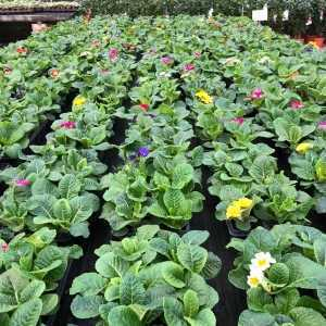 Primrose Winter Flowering Bedding Plants Mixed Colours - 10 Per Tray