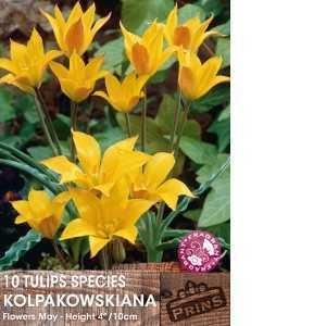 Tulip Bulbs Species Kolpakowskiana 10 Per Pack
