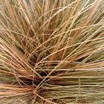 Carex Comans Bronzita Ornamental Grass 1ltr