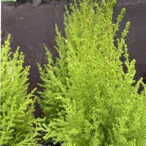 Goldcrest Cupressus Macrocarpa Wilma