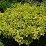 Berberis Tiny Gold (Barberry Hedging) 3.5 Ltr