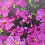 Aubrieta / Aubretia Gracilis Kitte Rose Red 1Ltr