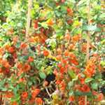 Chaenomeles Superba Clementine (Flowering Quince) 10Ltr