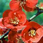 Chaenomeles Superba Crimson and Gold (Flowering Quince)