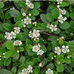 Cotoneaster Dammeri Bearberry Cotoneaster