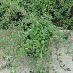 Cotoneaster Microphyllus
