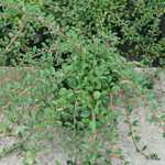 Cotoneaster radicans Eichholz 3Ltr