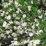 Cytisus Praecox Albus (Broom)
