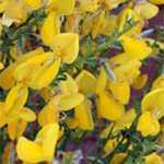 Cytisus Vanessa/Vanesse (Broom)