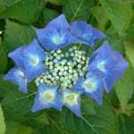 Hydrangea Macrophylla Blaumeise (Teller Blue)