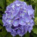 Hydrangea Macrophylla Blaue Donau (Blue Danube) Mophead