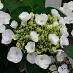 Hydrangea Macrophylla Koria (Teller White)