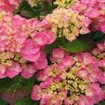 Hydrangea Macrophylla Rosita