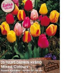Tulip Bulbs Darwin Hybrid Mixed Colours 25 Per Pack