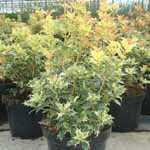Osmanthus Heterophyllus Goshiki (False Holly) 7.5Ltr