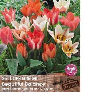 Tulip Bulbs Greigii Beautiful Balance Short Stemmed 25 Per Pack