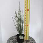 Cytisus Andreanus Splendens (Scotch Broom)