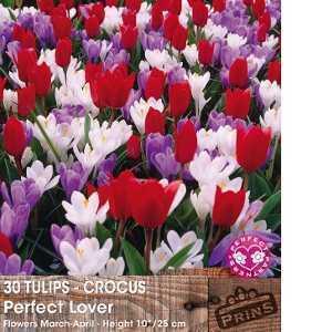 Tulip - Crocus Bulbs Perfect Lover 30 Per Pack